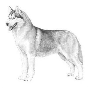 Các chỉ tiêu thuần chủng của chó Husky