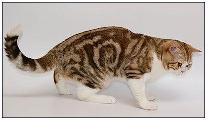 British Shorthair màu Tabby Socola