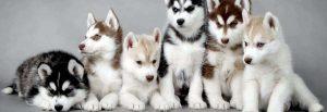 Các màu lông khác nhau của Husky