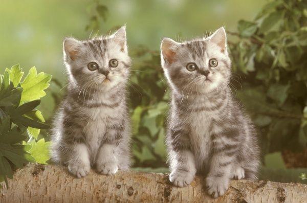 Giá mèo anh lông ngắn chi tiết tại hồ chí minh và hà nội
