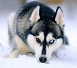 Husky mắt hai màu