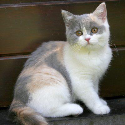 Mèo anh lông ngắn Tricolor