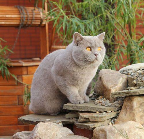 Mèo anh lông ngắn màu lilac