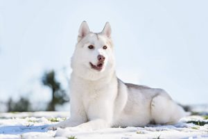 Đặc điểm chung của chó Husky Sibir