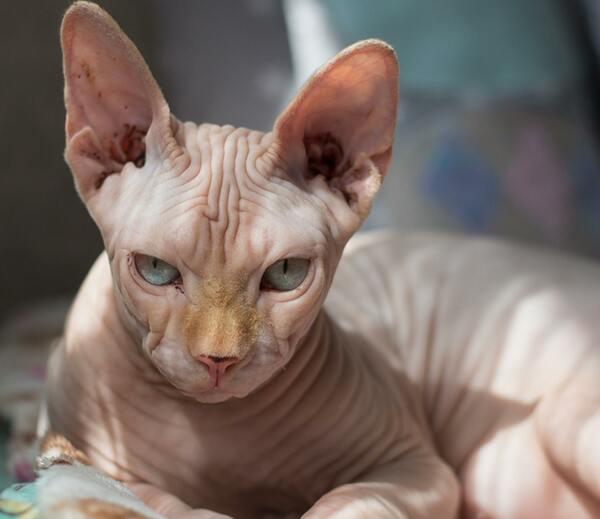 Đặc điểm của giống mèo Ai Cập Sphynx