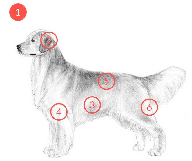 Đặc điểm giống chó Golden