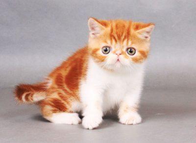 Bảng giá mèo Ba Tư và Exotic lông ngắn