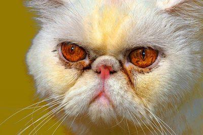 Bệnh đổ ghèn ở mèo Ba Tư mặt tịt