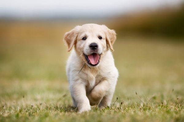 Cách chăm sóc chó Golden Retriever