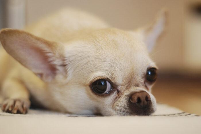 Có mấy loại chó Chihuahua