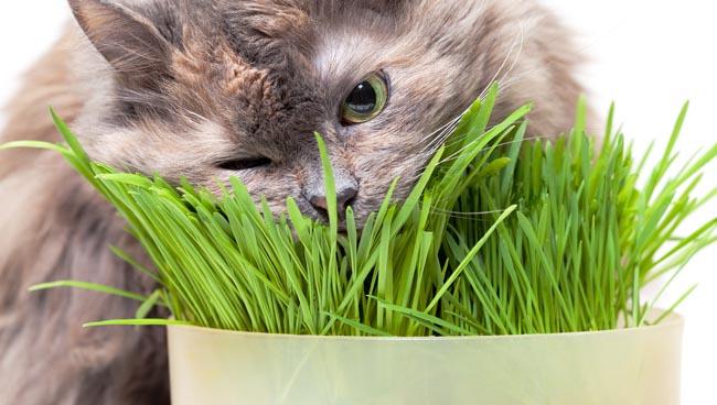 Cỏ mèo có hại gì đến sức khỏe bé mèo không