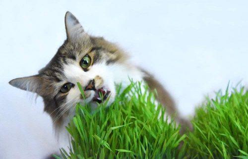 Cỏ mèo trị bệnh vón lông