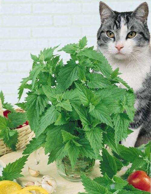 Catnip có gây hại gì cho mèo không