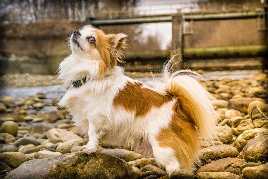 Chó Chiwawa (Chihuahua)