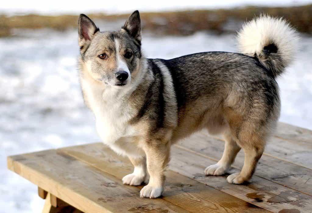 Chó Corgi lai Alaska