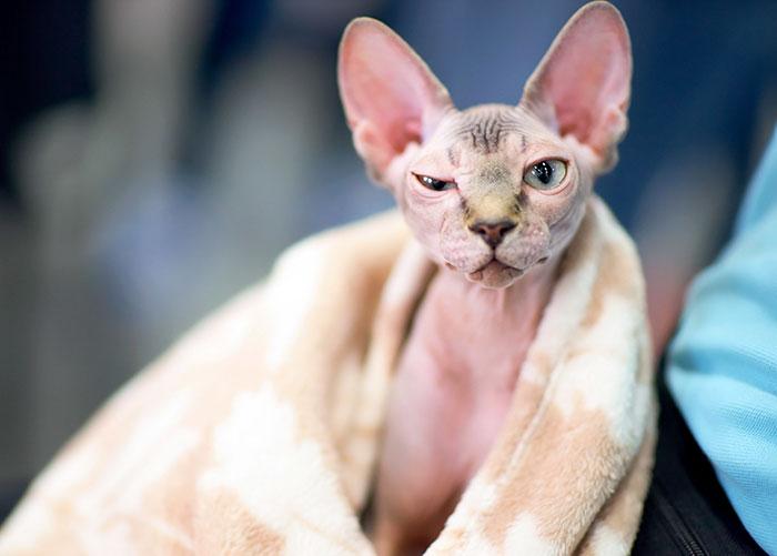 Chế độ chăm sóc nuôi dưỡng mèo không lông ai cập