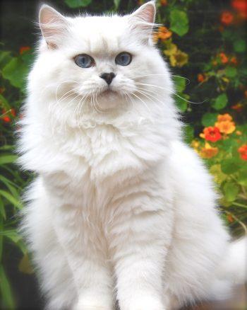 Chế độ dinh dưỡng cho mèo anh lông dài