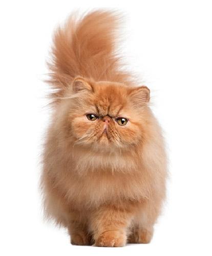 Chia sẻ thông tin về giống mèo ba tư mặt tịt