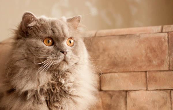 Giá cả của mèo anh lông dài British Longhair