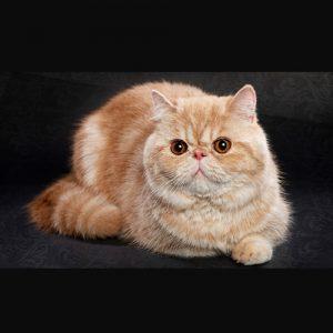 Đặc điểm ngoại hình của mèo Ba Tư
