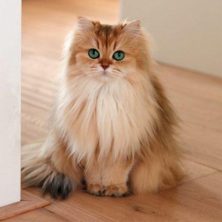Giới thiệu về giống mèo anh lông dài