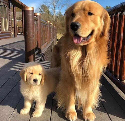 Golden Retriever giống chó tình cảm thân thiện