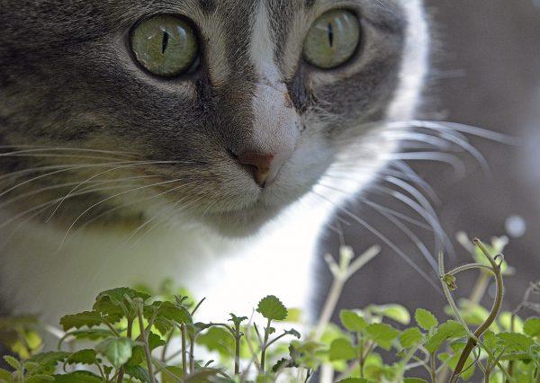 Làm cách nào để cho mèo ăn cỏ bạc hà