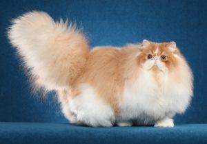 Lịch sử phát triển của mèo ba tư lông dài truyền thống