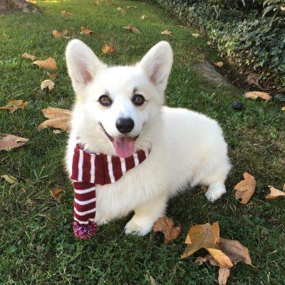 Chó Corgi lông trắng