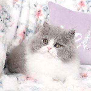 Mèo anh lông dài Bicolor