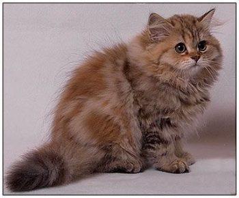 Mèo anh lông dài màu torbie