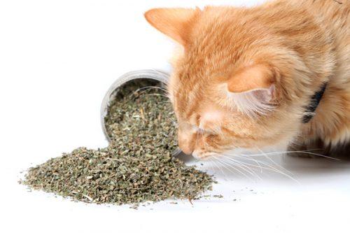 Nên mua cỏ mèo ở đâu