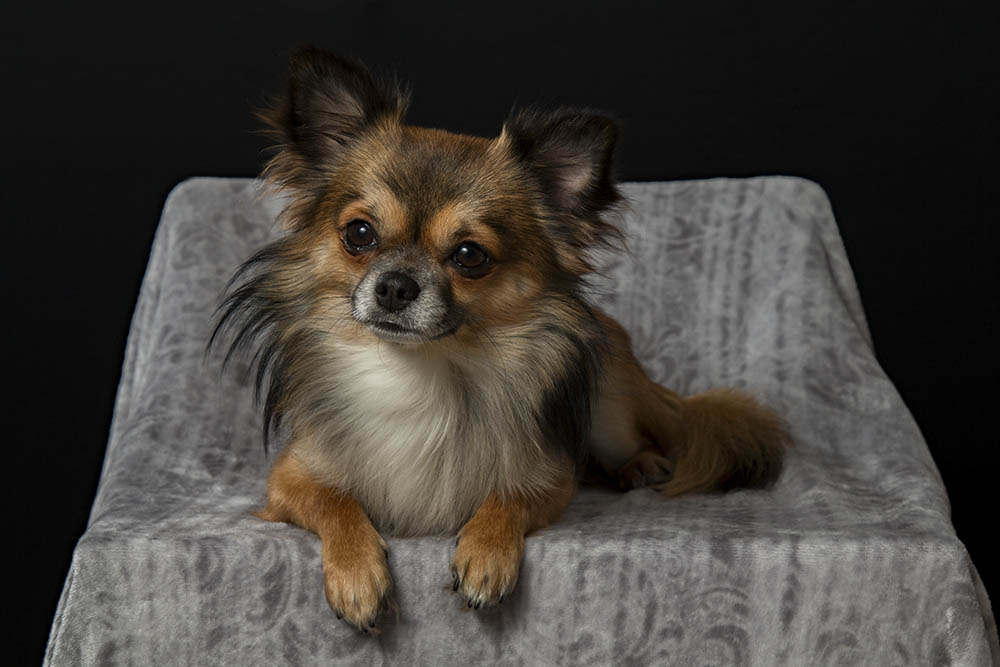 Nguồn gốc của giống chó Chihuahua