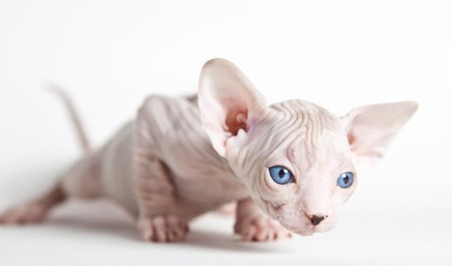 Những đặc điểm về tính cách của mèo Ai Cập không lông