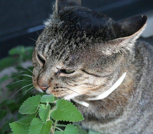 Những lợi ích khi sử dụng Catnip cho mèo