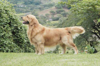 Tìm hiểu về giống chó Golden Retriever