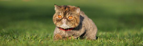 Chế độ dinh dưỡng cho mèo Ba Tư
