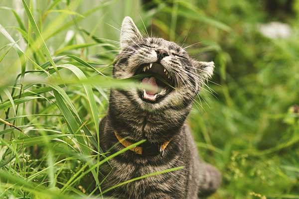 Tại sao mèo lại ăn cỏ