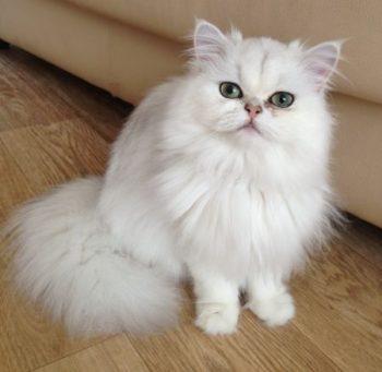 mèo anh lông dài Chinchilla