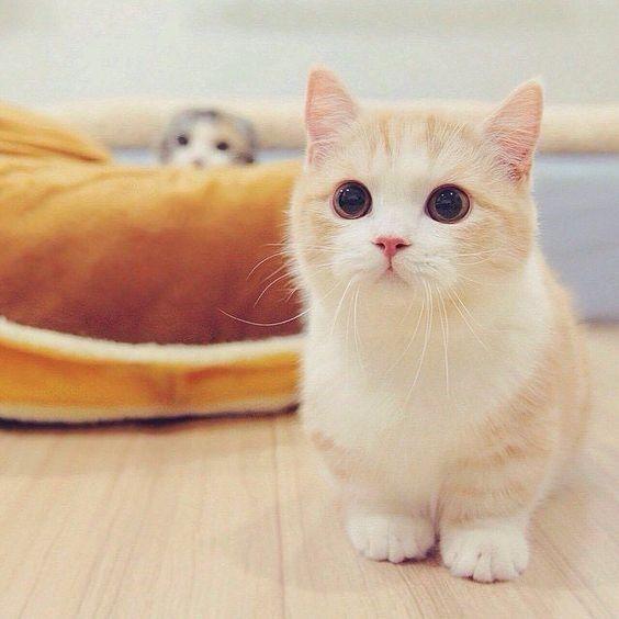 Đặc điểm của giống mèo Munchkin