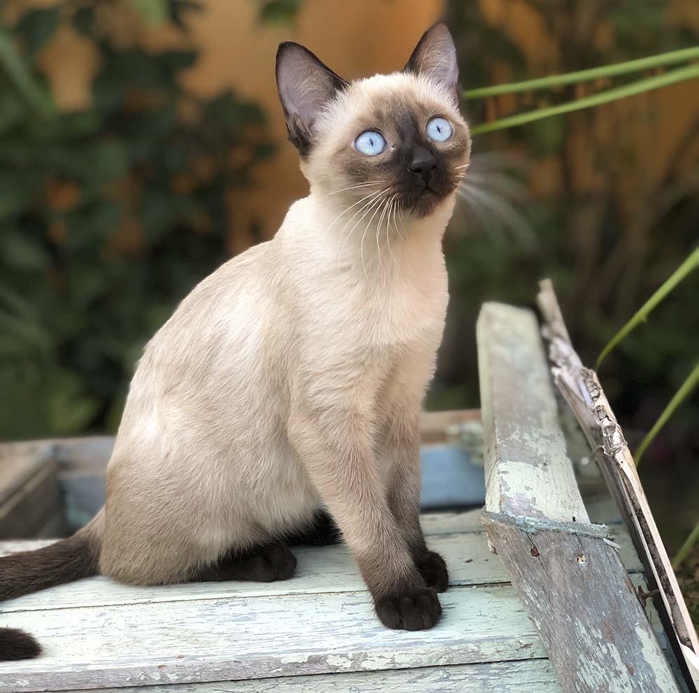Đặc điểm tính cách của giống mèo Xiêm