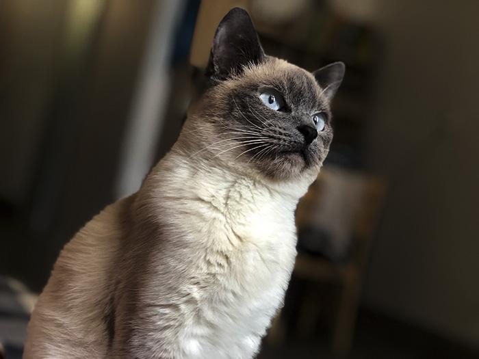 Các bệnh thường gặp ở mèo Xiêm