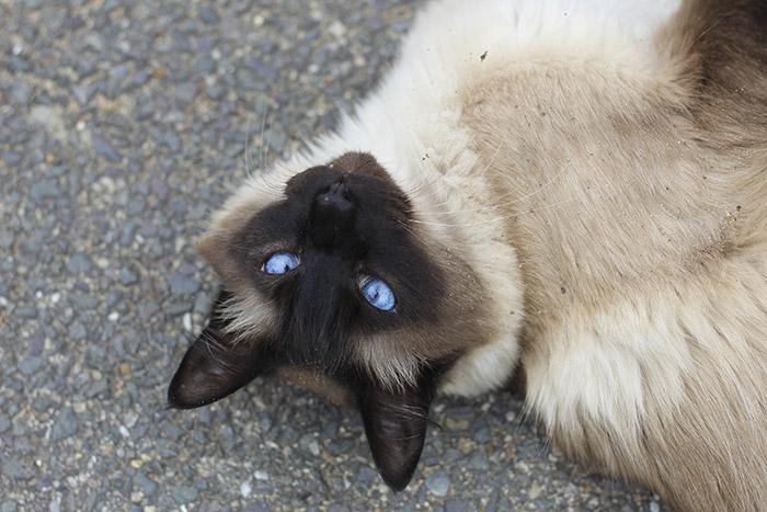 Cách chăm sóc mèo Xiêm