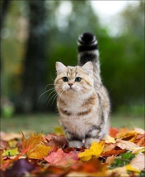 Cách phối giống mèo Munchkin như thế nào