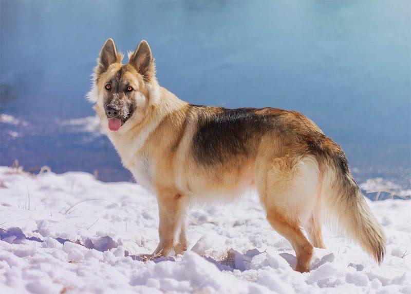 Chó Bec gie Đức với độ thông minh phán đoán cao