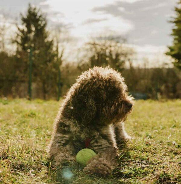 Chó Poodle với bộ não tuyệt vời