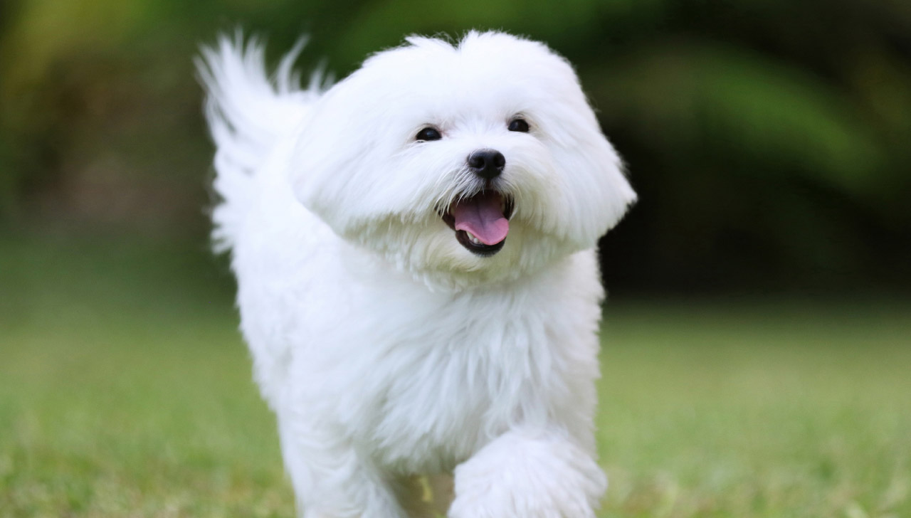 Giống chó nhỏ thân thiện