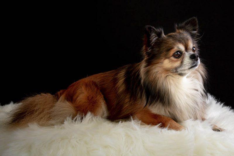 Chó thông minh gồm những giống nào