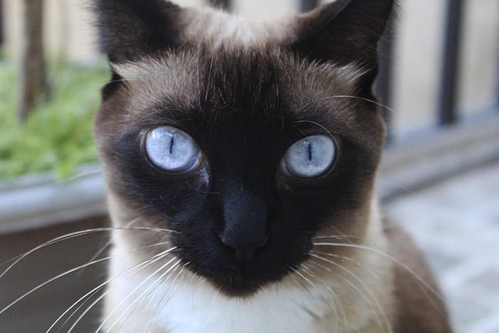 Chế độ ăn uống của mèo Xiêm như thế nào