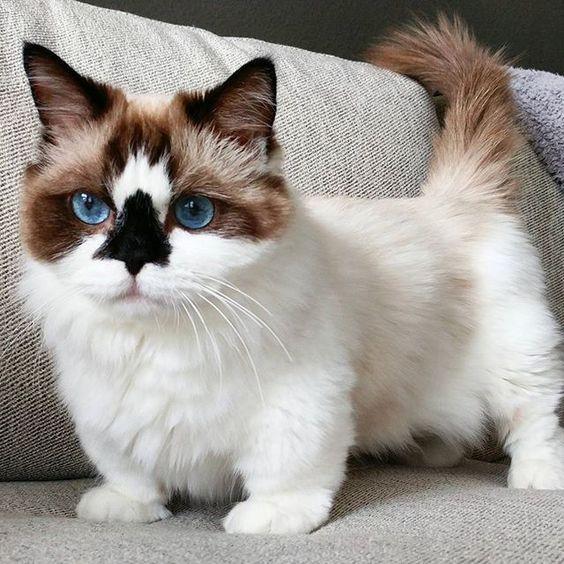 Giá của mèo chân ngắn là bao nhiêu